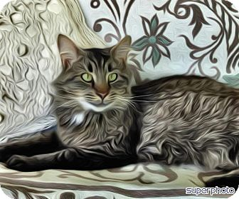 Maine Coon Cat for adoption in INDIANAPOLIS, Indiana - MARCO