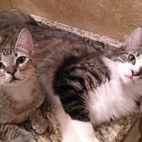 Maine Coon Cat for adoption in Houston, Texas - Sammy