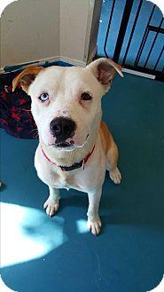 American Bulldog Mix Dog for adoption in Humble, Texas - Tesla