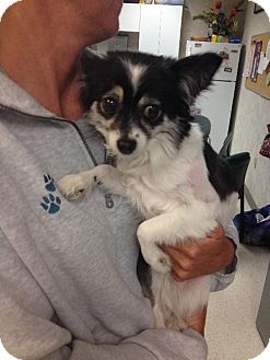 Chihuahua/Papillon Mix Dog for adoption in Holland, Michigan - Sophie