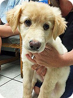 Golden Retriever Mix Puppy for adoption in BIRMINGHAM, Alabama - Cricket