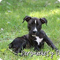 American Pit Bull Terrier Puppy for adoption in Des Moines, Iowa - Camille