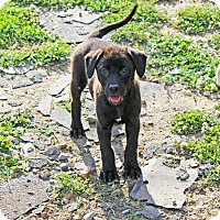 Labrador Retriever Mix Puppy for adoption in kennebunkport, Maine - Sophia - in Maine