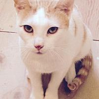 Adopt A Pet :: Butterscotch - Westwood, NJ
