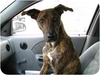 Whippet/Shepherd (Unknown Type) Mix Dog for adoption in Brooklyn, New York - Jasper