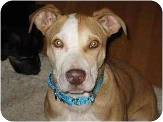 Boxer/American Pit Bull Terrier Mix Puppy for adoption in Berea, Ohio - Harley-Courtesy Post