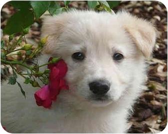 German Shepherd Dog/Golden Retriever Mix Puppy for adoption in Los Angeles, California - Koko von Kern