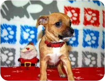 Chihuahua/Chihuahua Mix Puppy for adoption in Broomfield, Colorado - Macabee