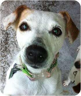Jack Russell Terrier Dog for adoption in Harrah, Oklahoma - Maddie