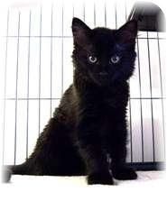 Domestic Mediumhair Kitten for adoption in Shelton, Washington - Tonio