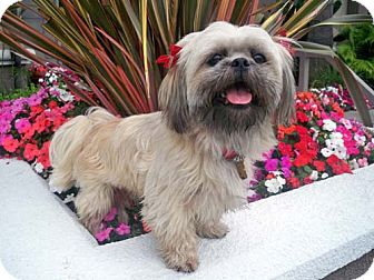 Lhasa Apso/Shih Tzu Mix Dog for adoption in Los Angeles, California - GLIMMER