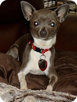 Chihuahua Mix Dog for adoption in Shawnee Mission, Kansas - Peanut Blue