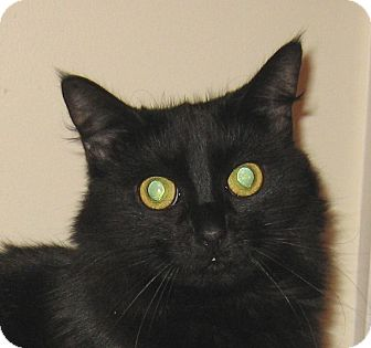 Domestic Longhair Cat for adoption in Hamilton, New Jersey - JASMINE-2013
