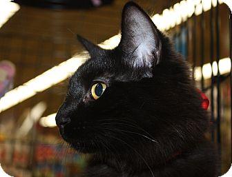 Domestic Shorthair Kitten for adoption in Vero Beach, Florida - Night Star