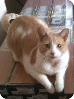 Domestic Shorthair Cat for adoption in Woodstock, Ontario - Frankie