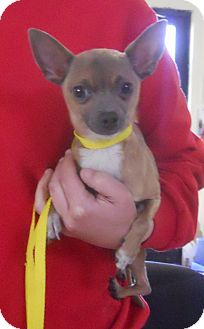 Chihuahua Mix Dog for adoption in Belvidere, Illinois - Petey *SPONSORED*