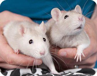 Rat for adoption in Chicago, Illinois - Juliette & Reyna
