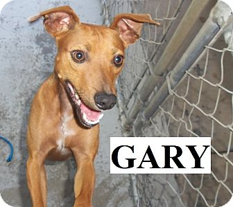 Terrier (Unknown Type, Medium) Mix Dog for adoption in Franklin, North Carolina - GARY