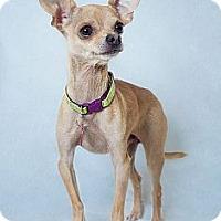 Adopt A Pet :: Poco Loco - Phoenix, AZ