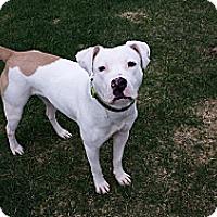 Adopt A Pet :: Blanca - Vernon Hills, IL