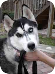 Siberian Husky Puppy for adoption in Boyertown, Pennsylvania - Jazz