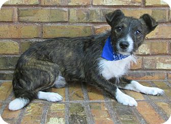 Parson Russell Terrier/Terrier (Unknown Type, Small) Mix Dog for adoption in Benbrook, Texas - Shylo