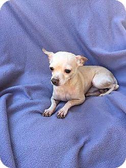 Chesapeake Bay Retriever Mix Dog for adoption in Mesa, Arizona - DEER 2 YR CHIHUAHUA ADOPT NOW
