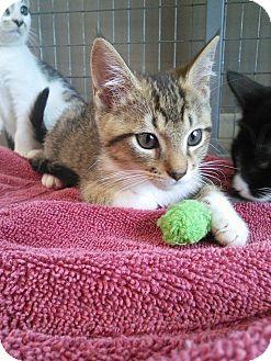 Domestic Shorthair Kitten for adoption in Moody, Alabama - Rosaline