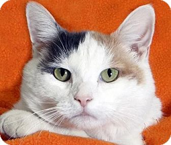 Domestic Shorthair Cat for adoption in Renfrew, Pennsylvania - Zoey