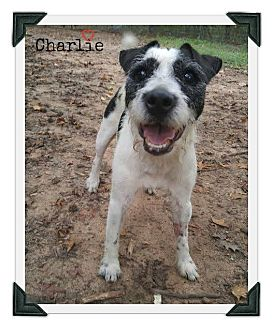 Terrier (Unknown Type, Medium) Mix Dog for adoption in Chester, Connecticut - Charlie