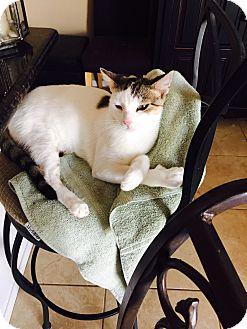 Domestic Shorthair Cat for adoption in Palm Springs, California - Pearl