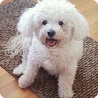 Adopt A Pet :: Angel - East Hanover, NJ