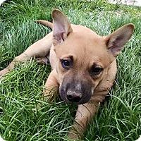 Adopt A Pet :: MOCHA - Gilbert, AZ