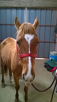 Quarterhorse Mix for adoption in Hitchcock, Texas - Holiday