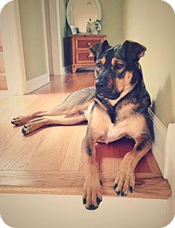 Shepherd (Unknown Type) Mix Dog for adoption in Schaumburg, Illinois - Gunner