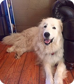 Great Pyrenees Mix Dog for adoption in Lee, Massachusetts - Scout - in ME