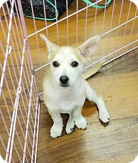 Terrier (Unknown Type, Small)/Corgi Mix Puppy for adoption in Milford, New Jersey - Luna