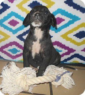 Labrador Retriever/Hound (Unknown Type) Mix Puppy for adoption in Allentown, New Jersey - Lala