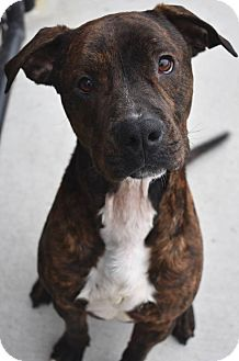 American Pit Bull Terrier/Boxer Mix Dog for adoption in Prince George, Virginia - Razor