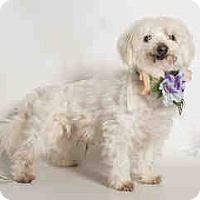 Adopt A Pet :: Galilei, Beautiful Maltese - Corona, CA