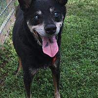 Shiba Inu/Spitz (Unknown Type, Medium) Mix Dog for adoption in Palm City, Florida - Rocco