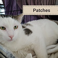 Domestic Shorthair Cat for adoption in Las Vegas, Nevada - PATCHES