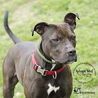 Adopt A Pet :: Devenna - Bedford, NY