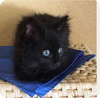 Domestic Mediumhair Kitten for adoption in Sacramento, California - Bentley
