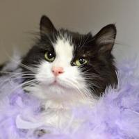 Domestic Longhair/Domestic Shorthair Mix Cat for adoption in Redmond, Oregon - GiGi