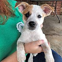 Adopt A Pet :: Digger - Norristown, PA