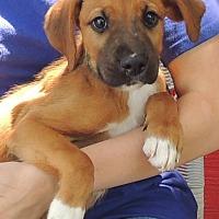 Adopt A Pet :: Dayra - Joplin, MO