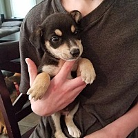 Collie/Terrier (Unknown Type, Small) Mix Puppy for adoption in Raleigh, North Carolina - Diesel