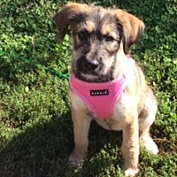 Adopt A Pet :: Rae: Sweet, Smart puppy! (IL) - Madison, WI