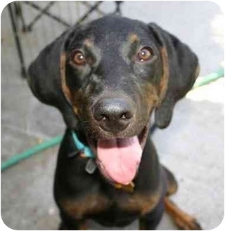 Black and Tan Coonhound Mix Puppy for adoption in Auburn, California - Maddie